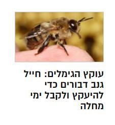 """- בבקשה בוס, הכתבה מוכנה. - אוקיי בוא נראה מה יש לנו כאן... חייל נתפס כשהוא גונב דבורים... בלה בלה בלה... בחקירה מסתבר שהחייל רצה """"לעקוץ"""" גימלים ע""""י כך שייעק... *מרים את הראש, ממלמל לעצמו* - בוס? בוס הכל בסדר? - זה... זה... זה לא יכול להיות... זאת סתם אגדה, משהו שמספרים לילדים... - בוס מה קורה איתך? להביא לך כוס מים? - הנבואה. הנבואה שיום אחד יגיע הסיפור שיכיל את משחק המילים המושלם. *מזיל דמעה*. """"עוקץ הגימלים"""". כי הוא ניסה לעקוץ גימלים ע""""י זה שדבורים יעקצו אותו. אתה מבין מה זה אומר? האורקל צדקה! מהר, תקרא לכולם! יש לי תחושה שהרפתקה מופלאה עומדת בפנינו..."""